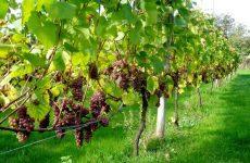 Κατ' εξαίρεση διευρύνεται η ποσότητα σταφυλιών για την παραγωγή κρασιού ιδιωτικής κατανάλωσης