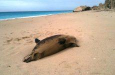 Νεκρά ένα δελφίνι και μία θαλάσσια χελώνα σε παραλίες του Πηλίου