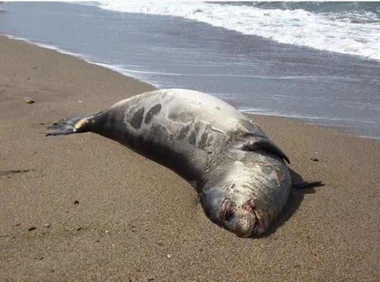 Νεκρή φώκια στο Τρίκερι
