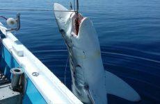 Καρχαρία επτά μέτρων έπιασαν ψαράδες στη Σκόπελο