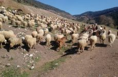 Απογραφή ζωικού κεφαλαίου εκμεταλλεύσεων αιγοπροβάτων και χοίρων για το έτος 2017