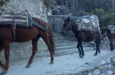 Αμέριμνα μουλάρια  στην λεωφόρο Αθηνών