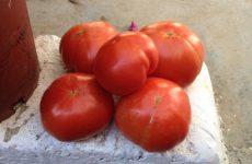 Φυτοϋγειονομικός έλεγχος διακινουμένου σπόρου τομάτας και πιπεριάς κοινοτικής προέλευσης