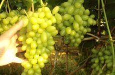 Εξάγουν το 100% των σταφυλιών καλλιεργώντας «ψηφιακά» αμπελώνες στην Κόρινθο