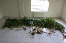 Κτηνοτρόφος καλλιεργούσε χασισόδεντρα στην Καρδίτσα