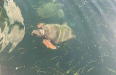 Nεκρή χελώνα στο λιμάνι του Βόλου