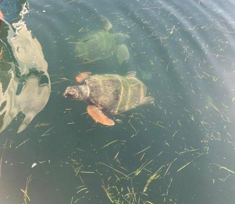 Νεκρή θαλάσσια χελώνα στο λιμάνι της Ελινόιλ