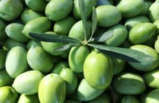 Ενημέρωση ελαιοπαραγωγών που συλλέγουν πράσινο ελαιόκαρπο