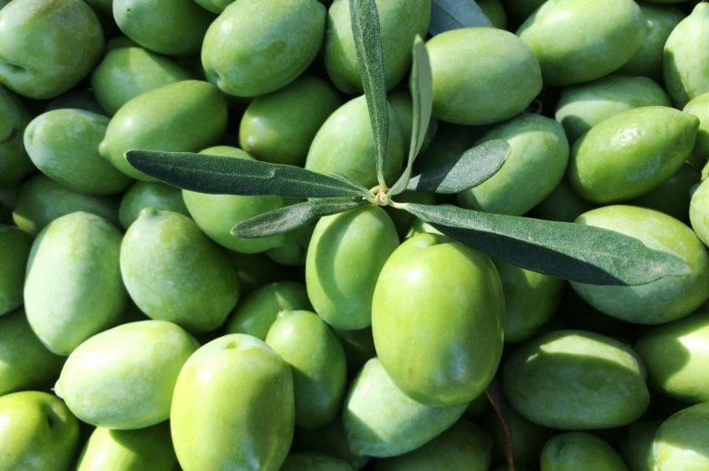 Ελιές πράσινες Πηλίου- Χαλκιδικής παραλαμβάνει ο o Αγροτικός Συνεταιρισμός Πηλίου
