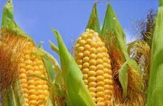 Kαλαμπόκι παραλαμβάνει ο Αγροτικός Συνεταιρισμός Βόλου
