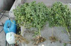 Συνελήφθη γυναίκα στο Δήμο  Ρ. Φεραίου  για καλλιέργεια και κατοχή κάνναβης