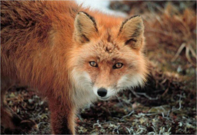 Ρίψη αντιλυσσικών εμβολίων για τις κόκκικες αλεπούδες στη Θεσσαλία