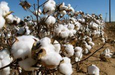 Γεωργικές προειδοποιήσεις ολοκληρωμένης φυτοπροστασίας στη βαμβακοκαλλιέργεια