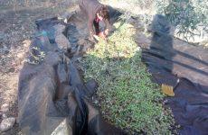 Παρέμβαση Π. Ηλιόπουλου για την αποζημίωση των ελαιοπαραγωγών σε Αλμυρό και Πήλιο