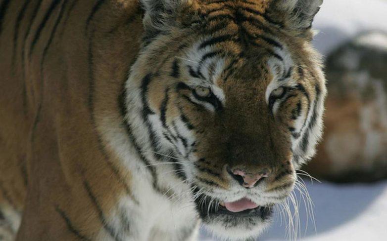 Ρωσία: Τίγρης επιτέθηκε σε υπάλληλο ζωολογικού κήπου