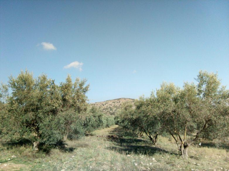 ΣΥΡΙΖΑ: Άμεση επίλυση προβλημάτων κατά την υποβολή αιτήσεων ενίσχυσης των ελαιοπαραγωγών
