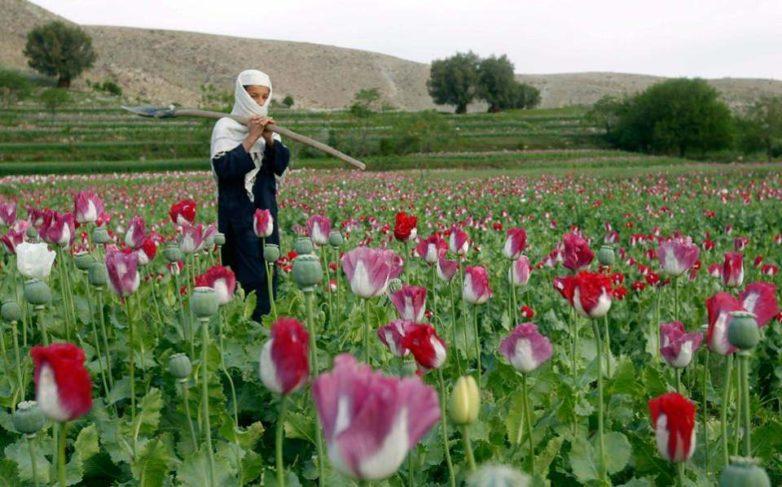 Καλλιεργούσαν 3.700 φυτά οπιούχου παπαρούνας στη Θήβα