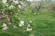 Μειωμένη έως μηδενική παραγωγή αμυγδάλων στο Δήμο Ρήγα Φεραίου
