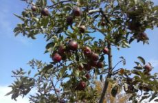 Επιτρεπόμενα φυτοπροστατευτικά  προϊόντα  για το ΚΟΜΦΟΥΖΙΟ