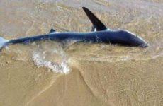Χανιά: Καρχαρίας «ξεβράστηκε» στην παραλία