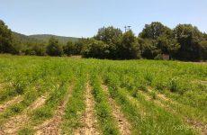 Μεγάλη φυτεία δενδρυλλίων κάνναβης στην ευρύτερη περιοχή της Καρδίτσας