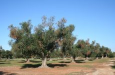 """""""Καρκίνος"""" για τα δέντρα το βακτήριο Xylella fastidiosa"""
