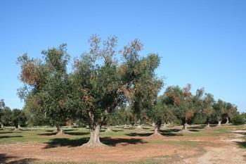 «Καρκίνος» για τα δέντρα το βακτήριο Xylella fastidiosa