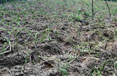 Παρέμβαση του Δήμου Ζαγοράς – Μουρεσίου υπέρ αγροτών που πλήττονται από την ανεξέλεγκτη βοσκή αγελάδων