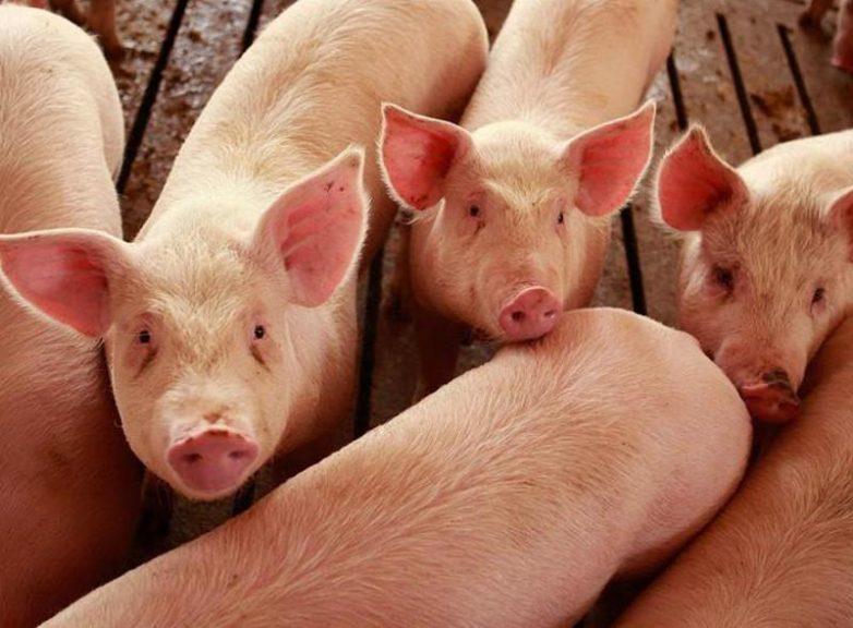 Απογραφή ζωικού κεφαλαίου για χοιροτρόφους και κατόχους χοιροτροφικών εκμεταλλεύσεων