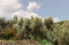Καταπολέμηση του δάκου της ελιάς σε ελαιοκομικές περιοχές των Π.Ε. Μαγνησίας και Σποράδων