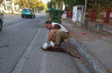 Νεκρή βίδρα σε τροχαίο στην Καστοριά