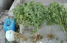 Nεαρό με δενδρύλλια κάνναβης στην Καρδίτσα συνέλαβαν αστυνομικοί της Δίωξης Ναρκωτικών Βόλου