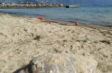 Καθηγητές του Π.Θ. ερεύνησαν περιστατικό εκβρασμού θαλάσσιας χελώνας στις Αλυκές