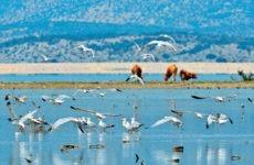 Εκπόνηση σχεδίου για την κτηνοτροφική διαχείριση στη Λίμνη Κάρλα
