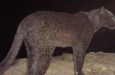 Φωτογραφικός φακός απαθανάτισε τη θρυλική αφρικανική μαύρη λεοπάρδαλη μετά από 110 χρόνια