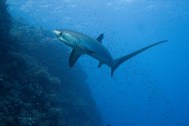 Ψάρεψε στη Νέα Αγχίαλο καρχαριοειδές μήκους 3 μέτρων