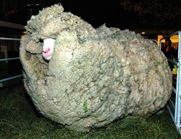 Πρόβατο κρυβόταν επί 6 χρόνια για να μην το κουρέψουν
