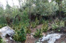 Μεγάλη φυτεία με χασισόδεντρα στην ευρύτερη περιοχή της Λάρισας