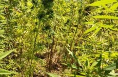 Εξιχνίαση φυτείας κάνναβης στην Αγιά Λάρισας