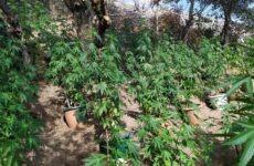 Φυτεία δενδρυλλίων κάνναβης στα Τρίκαλα