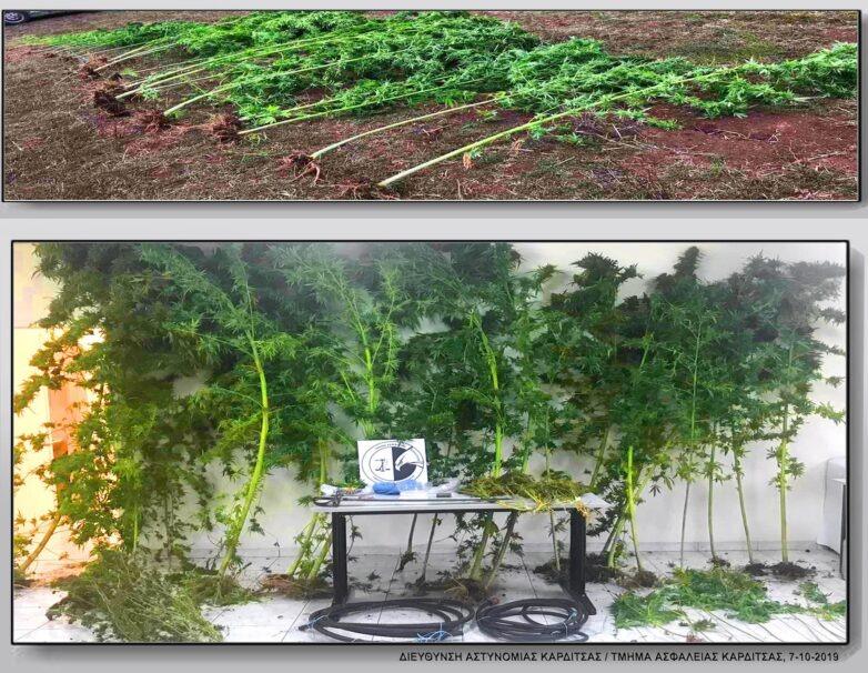 Φυτεία δενδρυλλίων κάνναβης σε αγροτική περιοχή των Τρικάλων