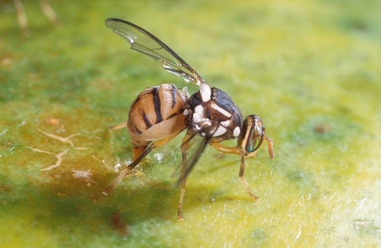 Γεωργική ενημέρωση για τον επιβλαβή οργανισμό καραντίνας Bactrocera dorsalis