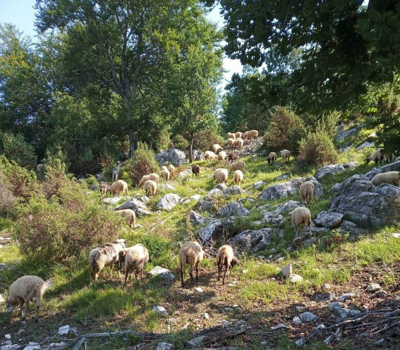 Πλέγμα δράσεων και μέτρων για τη στήριξη των κτηνοτρόφων