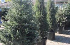 Ενοικίαση χριστουγεννιάτικων δέντρων και μενού για χορτοφάγους