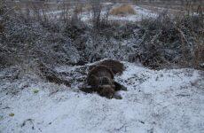 Βαριά τραυματισμένη αρκούδα επέζησε τέσσερις μέρες εγκλωβισμένη σε παράνομη παγίδα στις Πρέσπες