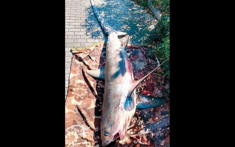 Καρχαρίες και σαλάχια καταλήγουν στο πιάτο μας