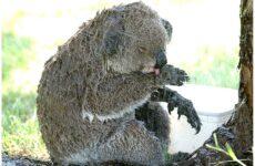 Aυστραλία – Πυρκαγιές: Χιλιάδες εθελοντές πλέκουν τα απαραίτητα για τα ζώα που απειλούνται