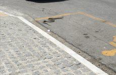 Τσαλαπατήθηκε από αυτοκίνητο φίδι στο κέντρο του Βόλου