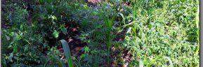Καλλιεργούσαν κάνναβη στα Τρίκαλα
