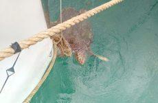 Επιχείρηση διάσωσης δύο θαλασσίων χελωνών στο λιμάνι του Βόλου